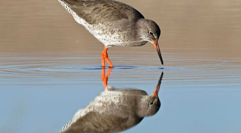 Redshank Tringa totanus_ a single adult bird fishing in a coastal pool_ North Norfolk_ November_4749